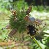 July 5, 2010.  Goldenrod crab spider at Pilot Rock, Cascade-Siskiyou NM, BLM, Oregon.