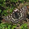 July 5, 2010.  Snowberry checkerspot butterfly at Pilot Rock, Cascade-Siskiyou NM, BLM, Oregon.