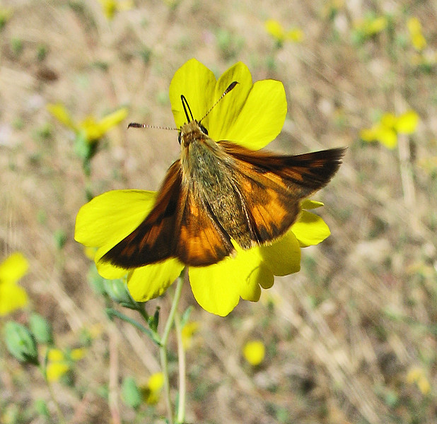 August 18, 2011 - woodland skipper - Cascade Siskiyou National Monument, Oregon