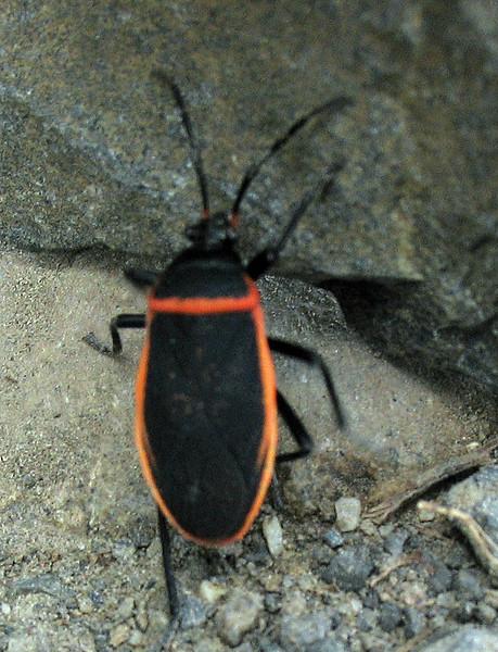 April 10, 2011.  Beetle, Upper Table Rock outside Medford, OR.