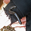 April 10, 2011.  Giant millipede, Upper Table Rock outside Medford, OR.