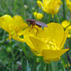 June 18, 2013. Fly on a buttercup at Three Sisters in the Highlands, Scotland.