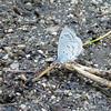 May 17, 2012 - Azure butterfly at Oredson-Todd Woods, Ashland, Oregon