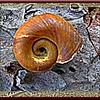 May 7, 2012.  Snail shell at Hyatt Lake outside Cascade-Siskiyou NM, Oregon.