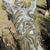 May 19, 2012 - Tent caterpillars at Topsy Recreation Area, Greensprings Hwy, Oregon