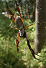 Golden Orb Weaver (Nephila edulis)