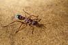 Giant Bull/Bulldog Ant (Myrmecia brevinoda)