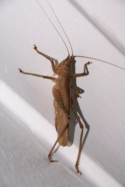Unidentified Large Grasshopper