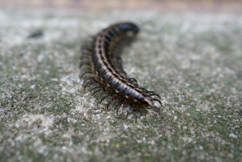 Unidentified Polydesmid Millipede