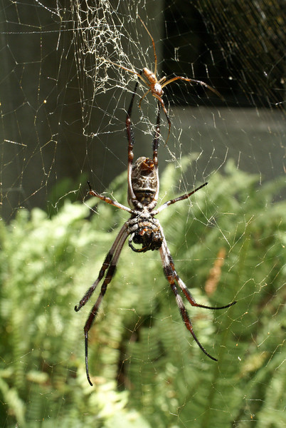 Golden Orb Weaver (Nephila edulis).  A large female in her web with a much smaller male above her.