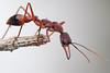 Bulldog ant (Myrmecea nigriscapa), Wilson's Promontory