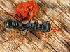 Bulldog ant (mymacea)