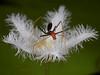 Spider and on flower - Leptomyrmex erythrocephalus