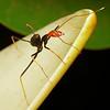 Spider ant - Leptomyrmex erythrocephalus