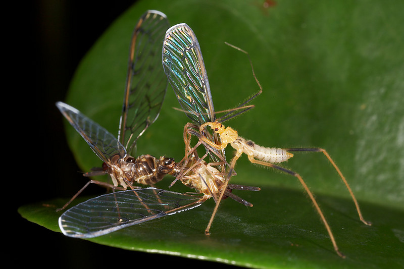 An assasin bug eating a male insect, while the female continues to copulate.  Maybe there is life after death.