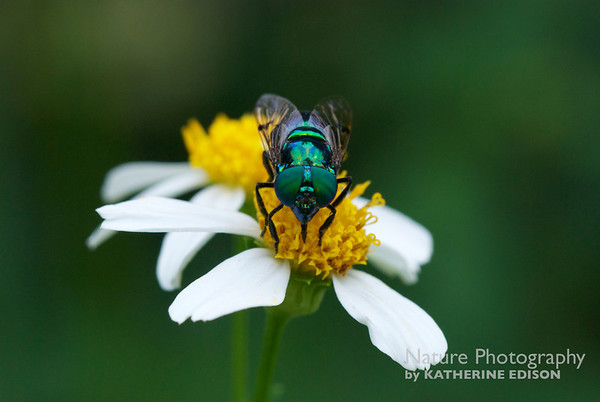 Green Hover Fly