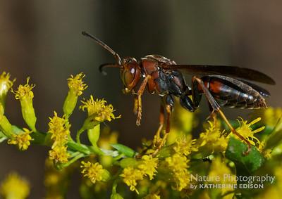 Wasp Grooming Itself