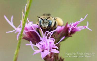 Bee on Liatris