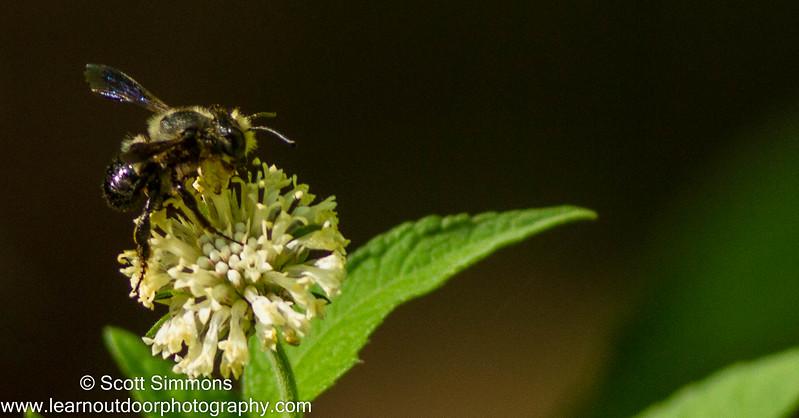 Carpenter-mimic Leafcutter Bee