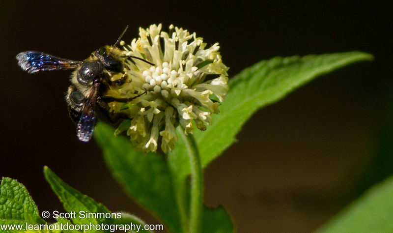 Carpenter-mimic Leafcutter Bee