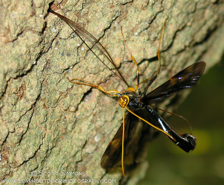 Black Giant Ichneumon Wasp