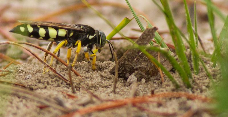 Horse Guard Wasp