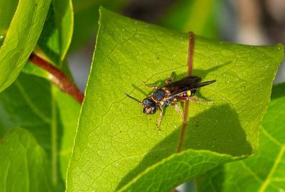 Potter/Mason Wasp