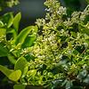 2019-06-15_  m1 40x1501 4tc iso200 1145am  bush bloom,bee_2