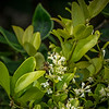2019-06-15_  m1 40x1501 4tc iso200 1145am  bush bloom,bee_9