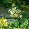 2019-06-15_  m1 40x1501 4tc iso200 1145am  bush bloom,bee