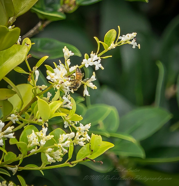2019-06-15_  m1 40x1501 4tc iso200 1145am  bush bloom,bee_11
