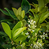 2019-06-15_  m1 40x1501 4tc iso200 1145am  bush bloom,bee_4