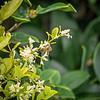 2019-06-15_  m1 40x1501 4tc iso200 1145am  bush bloom,bee_10