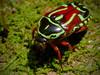 Eupoecila australasiae (Fiddler Beetle)