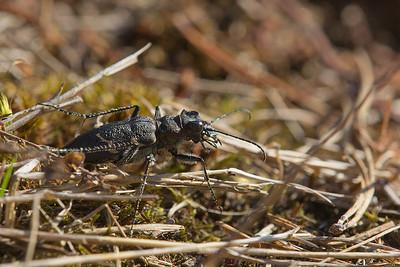 Metsaliivikas, Heath Tiger Beetle, Cicindela sylvatica