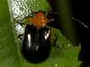 Beetle, Cairns