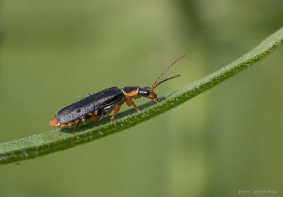 cantharis nigricans?