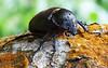 Female rhinoseros beetle (Java)