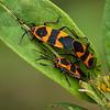 Sex and the Single Girl - Milkweed Bugs