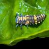 Ladybug Larva on a Leaf