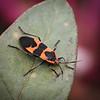 Milkweed Bug on a Leaf