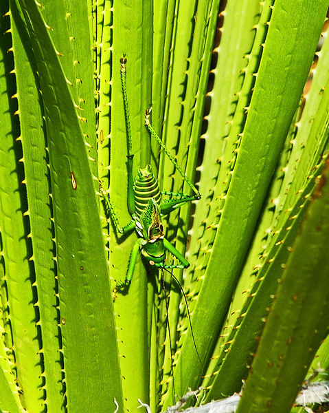 Stretch Out, This Green Grasshopper was found on an Agave Cactus in Big Bend National Park in Texas.