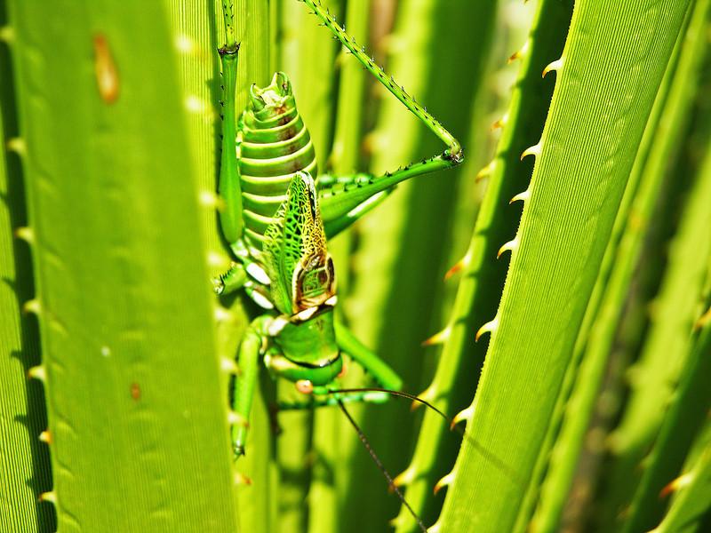 Spring Grasshopper