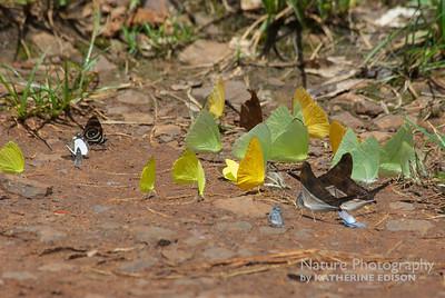 Assorted Puddling Butterflies