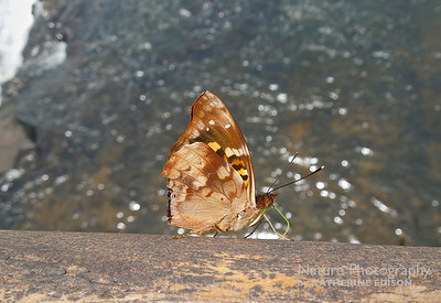 Agathina Emperor Butterfly