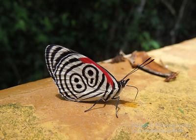 Ochenta y Ocho Butterfly