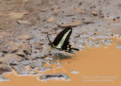 Hector's Swallowtail