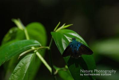 Flasher Skipper Butterfly