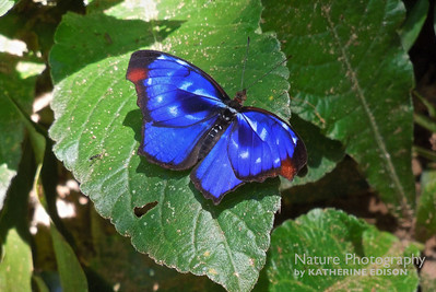 Orsis Bluewing Butterfly