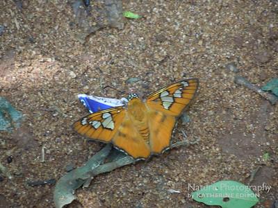 Epimachia Glory Butterfly